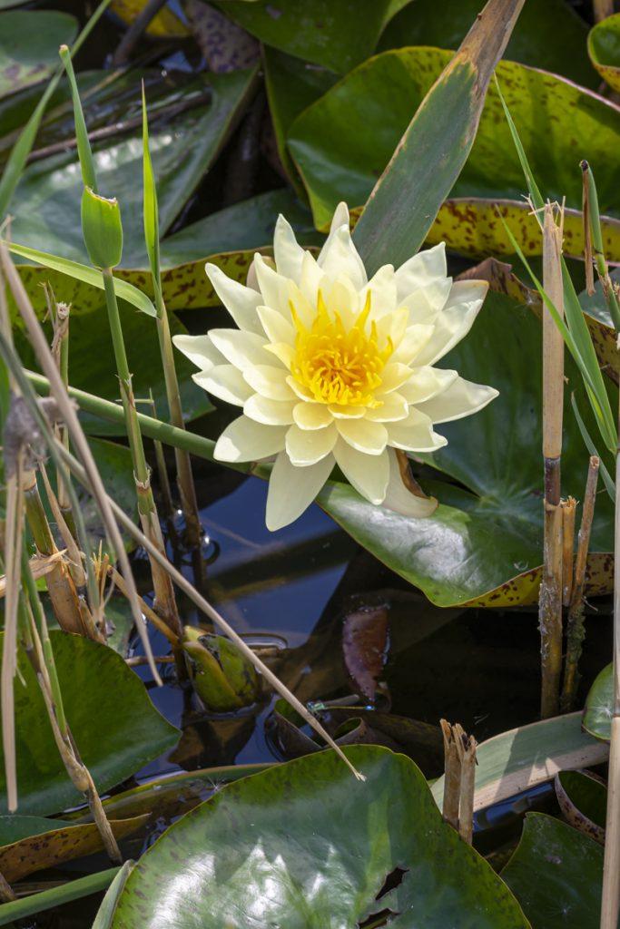 водни лилии в екопарк вая