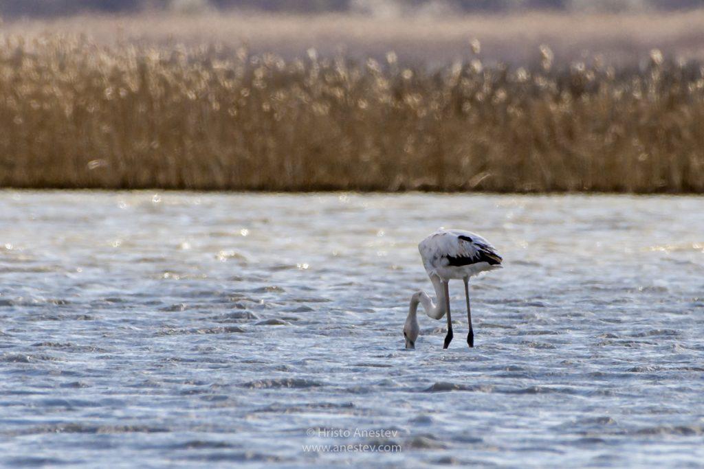 Фламинго в Атанасовското езеро край Бургас